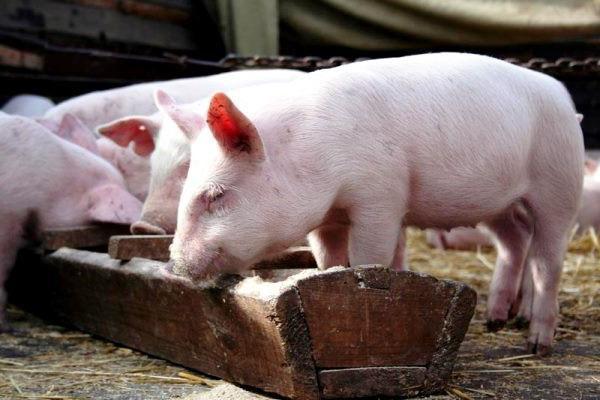 Изображение - Разведение свиней Kormlenie-porosyat