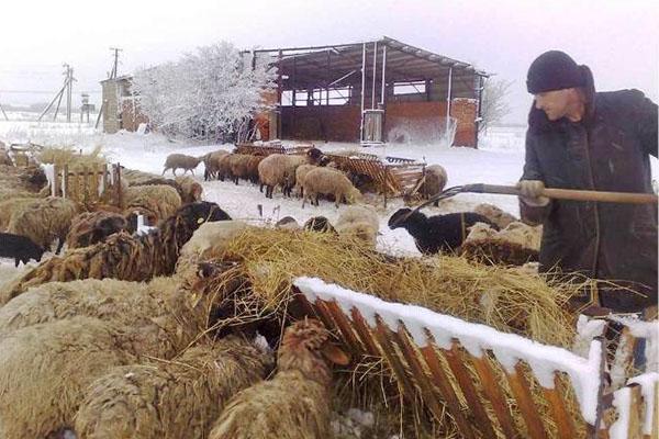 Кормят овец на открытом воздухе