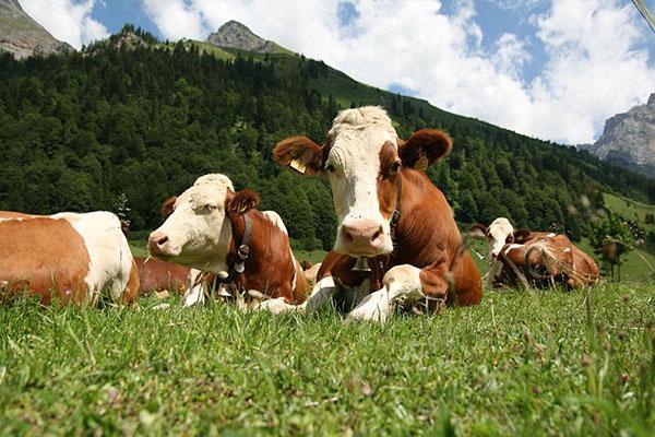 Породы коров голландские коровы