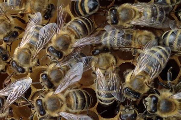Краинская порода пчел или карника