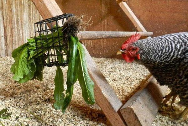 Курица ест траву