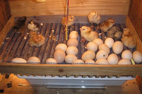Начался проклев яиц