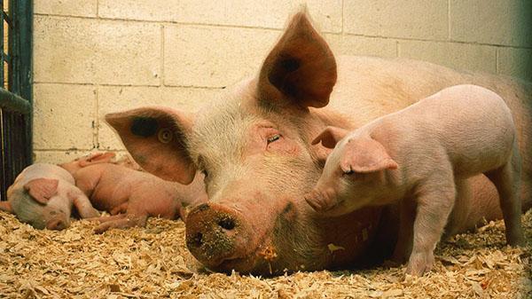 Норма потребления комбикорма зависит от возраста свиньи