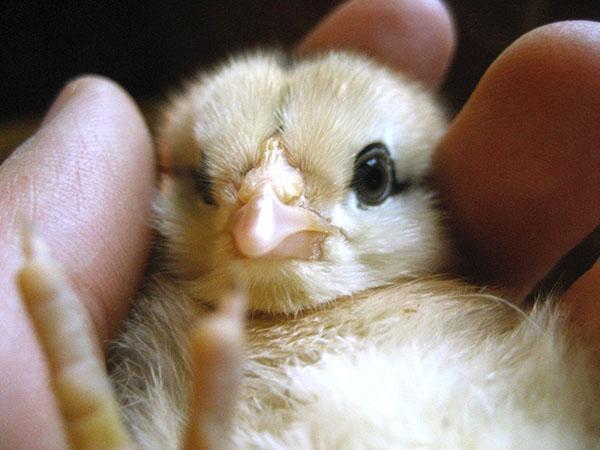 Новорожденный цыпленок нуждается в заботливом уходе хозяина