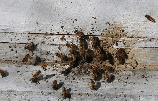 Нозематоз пчел