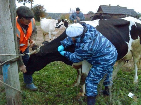 Определение бурцеллеза у коровы