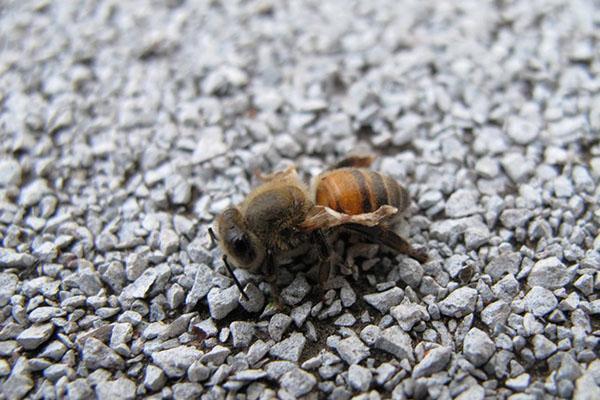 От заболеваний пчел обрабатывают чистотелом