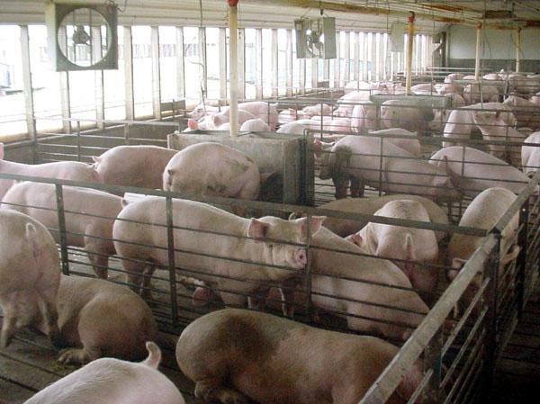 Откорм поголовья на мясо
