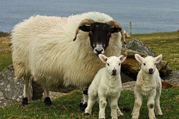 Порода Курдючные овцы обзор как содержать фото описание