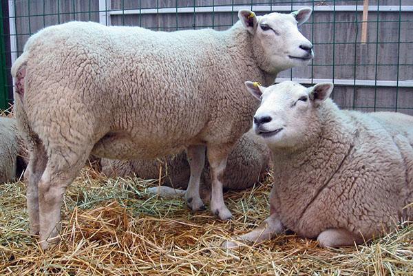 Овцы Тексель на выставке
