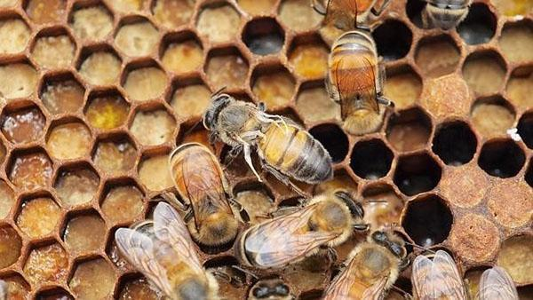 Пчелы подвержены разным заболеваниям
