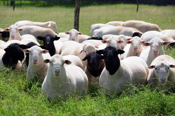 Поголовье овец на пастбище