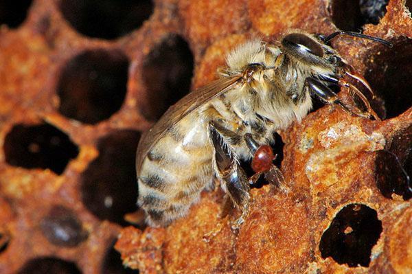 Пораженная клещом пчела