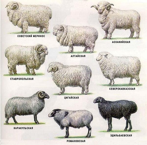 Породы овец для домашнего разведения