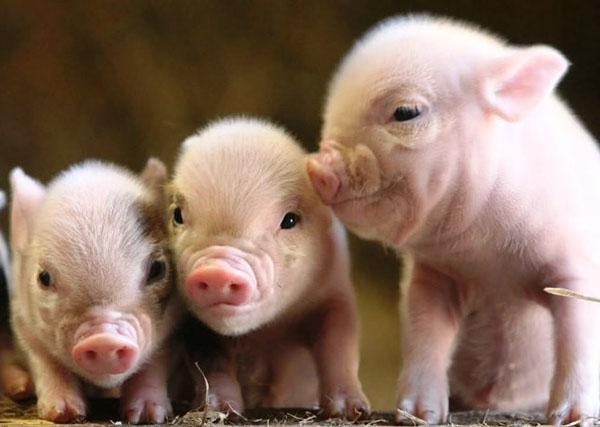 Изображение - Разведение свиней Pravilnaya-planirovka-biznesa-pozvolit-bystro-poluchit-pribyl-ot-porosyat