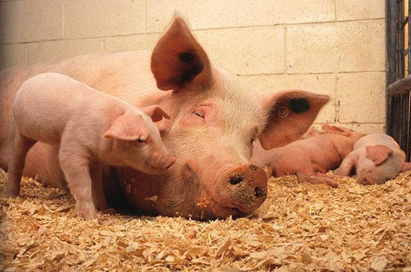При большой скученности поголовья свиней возможен риск развития аскаридоза