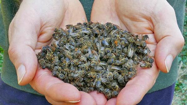 При весеннем осмотре ульев собирают пчелиный подмор