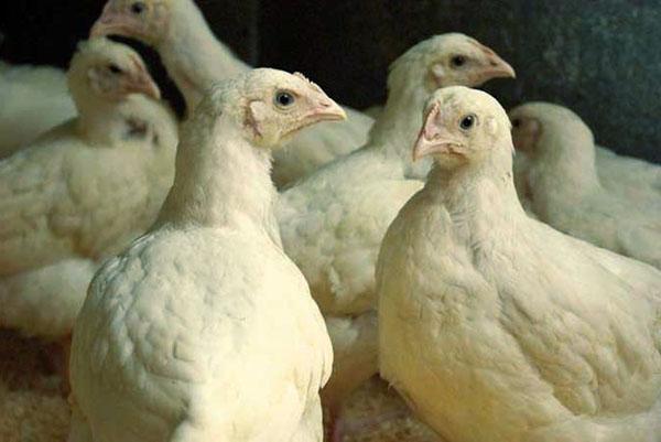 Пробиотики благотворно влияют на микрофлору кишечника цыплят