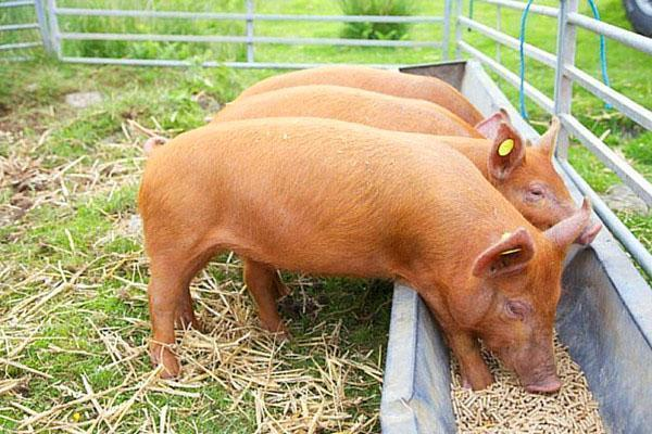 Кормушки для свиней своими руками. Бункерные кормушки для свиней