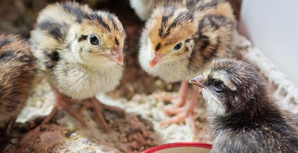 Птенцам нужен комбикорм, богатый на белки