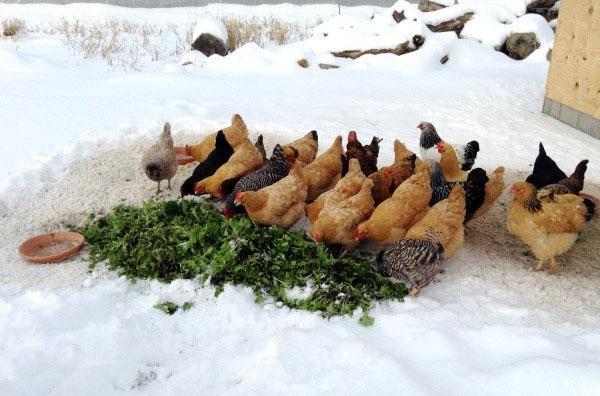 Рацион питания кур несушек зимой