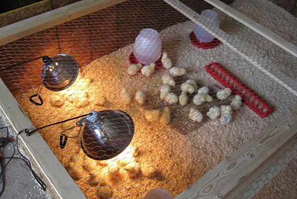 Соблюдение температурного режима защитит цыплят от ОРВИ