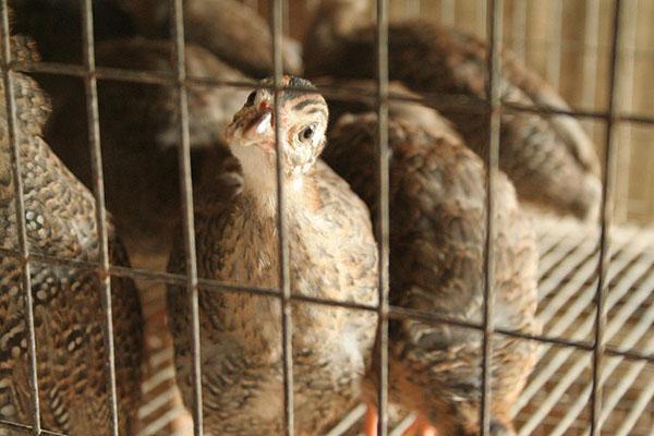 Сделать клетку для попугая своими руками Drugdoma