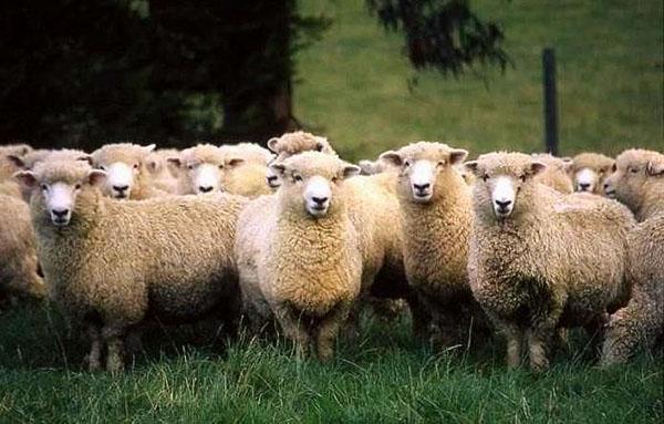 Стадо куйбышевских овец