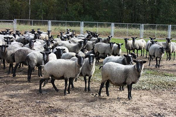Стадо романовских овец