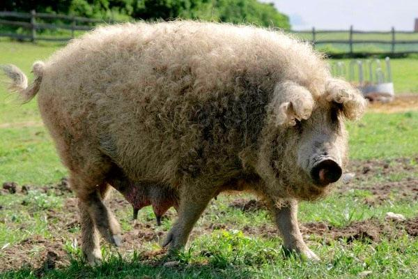 Свиньи породы Мангал крайне непривередливы