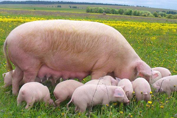 Свиноматка крупной белой породы с поросятами