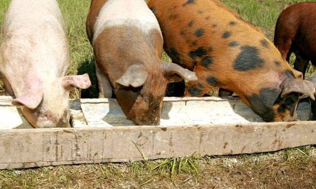 Свиньям дают только свежие продукты