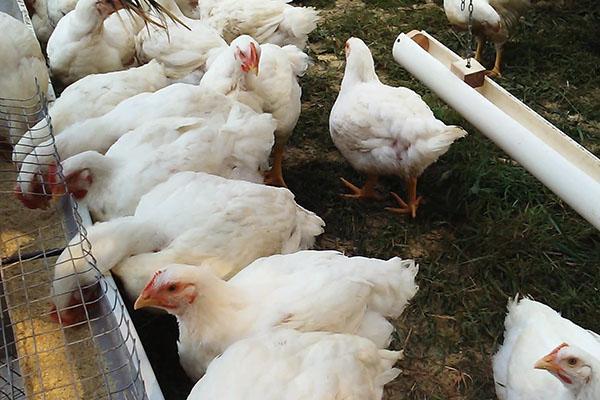 Своевременно проведенная профилактика поможет избежать заболевания птицы