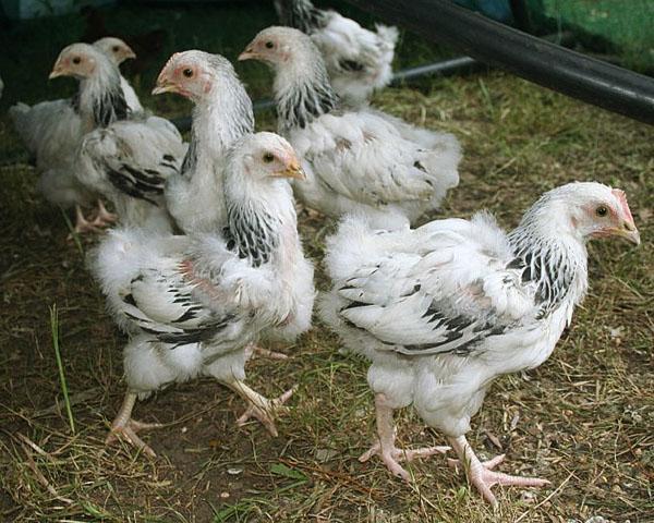 Своевременное отделение больных цыплят поможет спасти поголовье