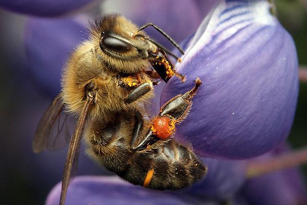 Темная европейская или среднерусская порода пчел (Apis mellifera mellifera)