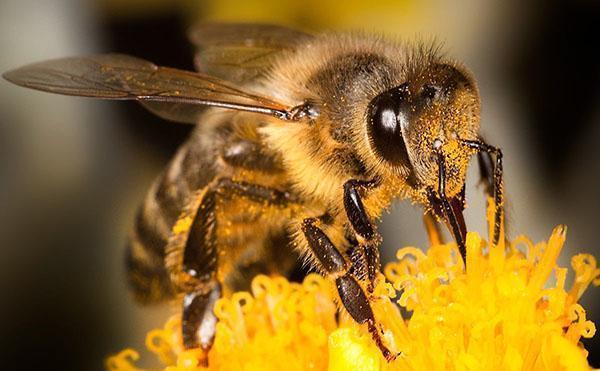 Виды пчел и их характеристика