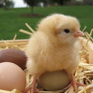 В возрасте трех дней цыплятам начинают давать измельченную траву