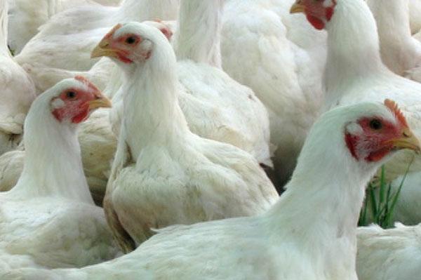 Как давать дрожжи цыплятам бройлерам