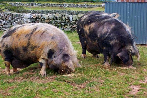 Волосатые свиньи