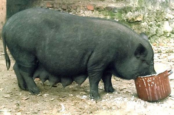 Изображение - Разведение свиней Vygodnyy-biznes-na-vetnamskikh-svinyakh