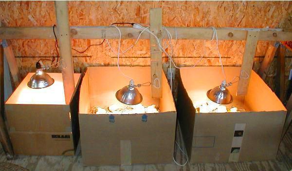 Выгревание цыплят под лампами