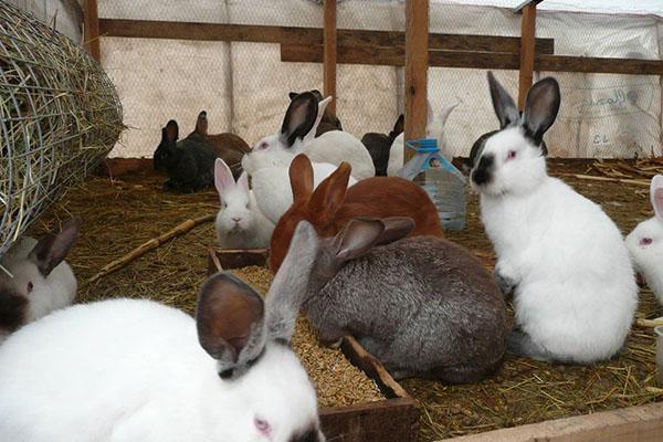 Выращивание кроликов в вольере