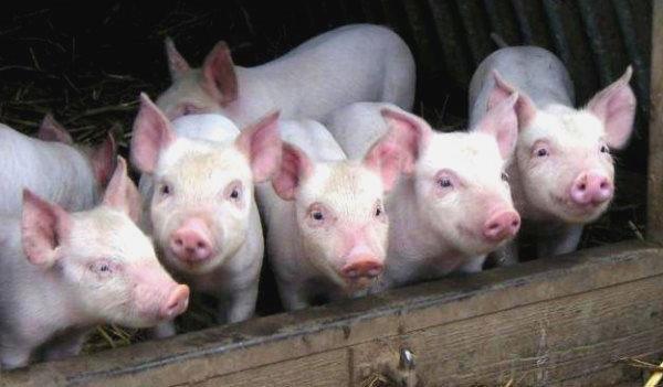 Изображение - Разведение свиней Vyrashhivanie-porosyat-na-prodazhu