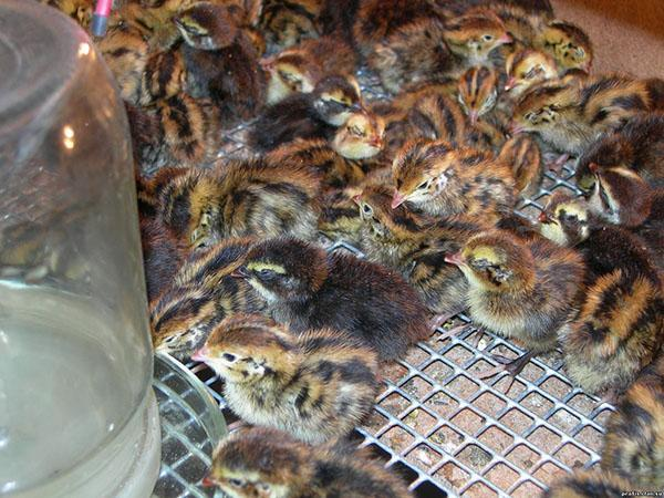 Выведенные в инкубаторе птенцы перепелов