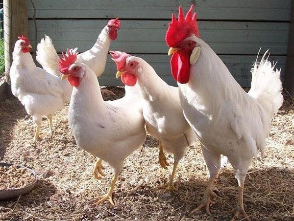 Яйценосная порода кур Легорн