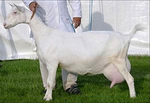 Зааненская коза на выставке