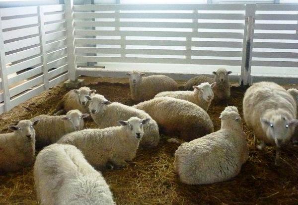 Зимнее содержание овец в теплом загоне