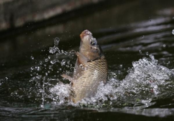 Карп в пруду