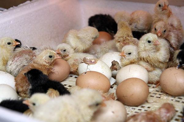 Вывод цыплят в инкубаторе дома