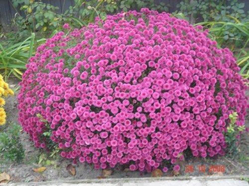 Хризантема - один из красивейших цветков